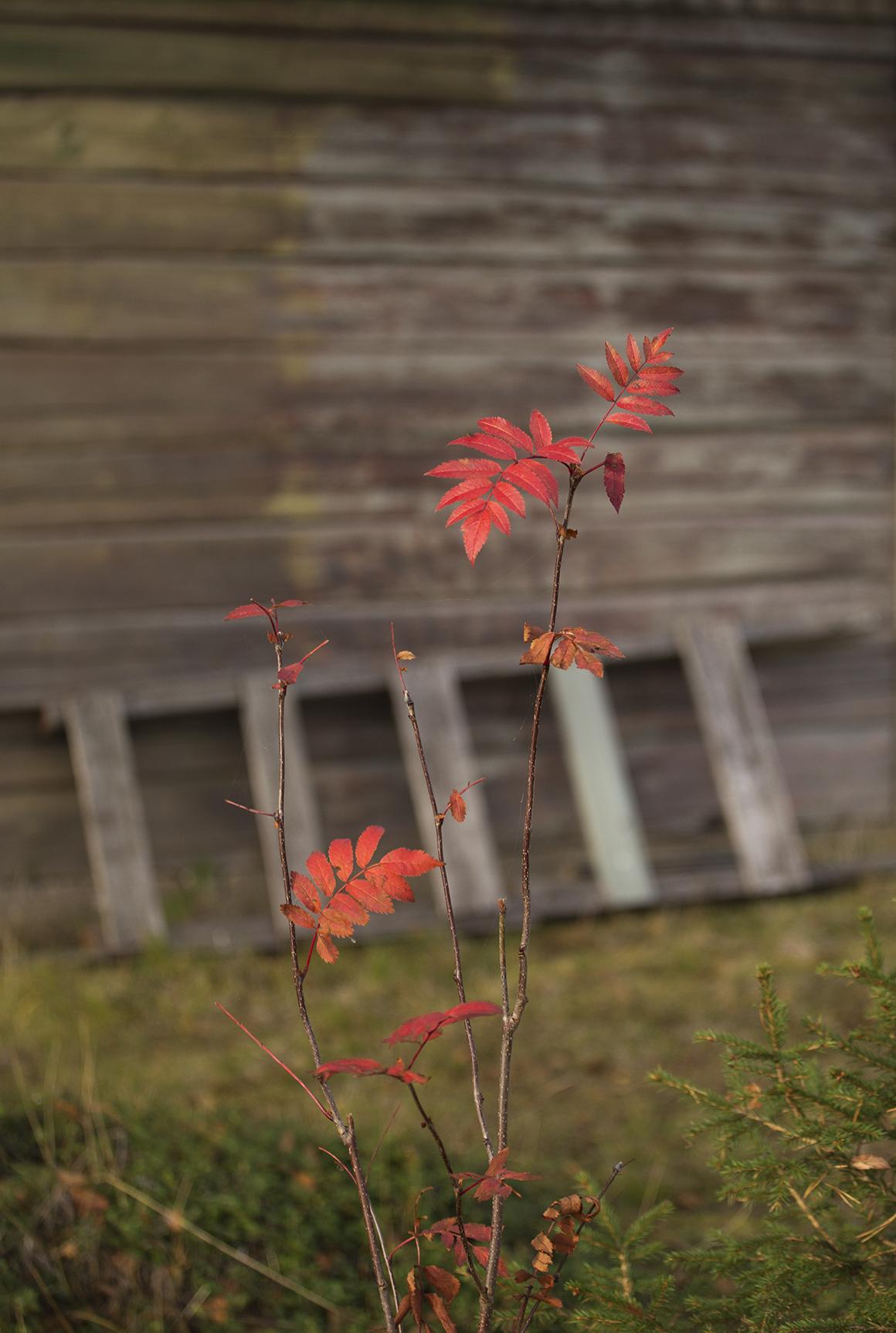 punaiset-pihlajan-lehdet