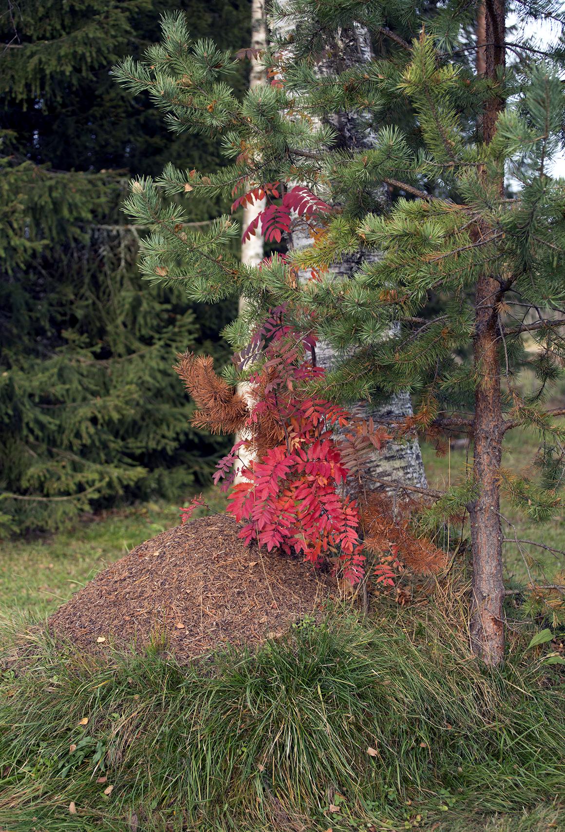 ruskan-punainen-pihlaja-ja-muurahaiskeko