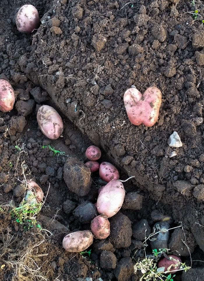 sydamen-muotoinen-peruna